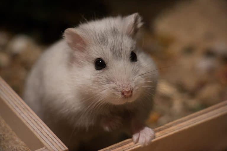 hamster blanc dans cage