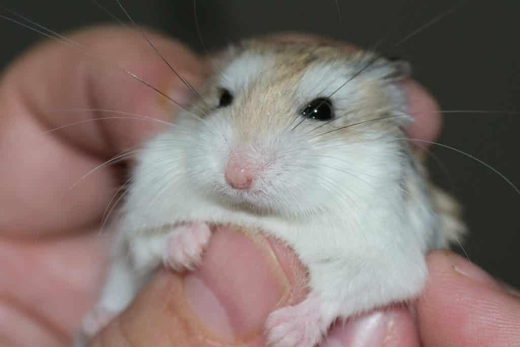 Hamster dans la main apprivoisé