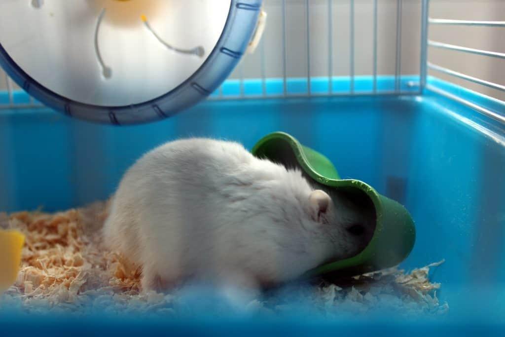 hamster nain blanc