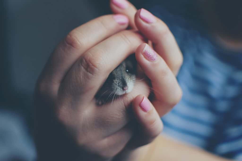 hamster russe dans la main