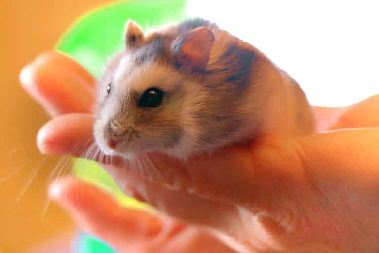 types de hamster