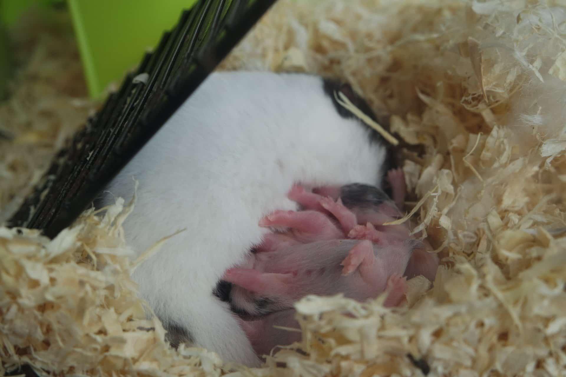 bébé hamster de campbell