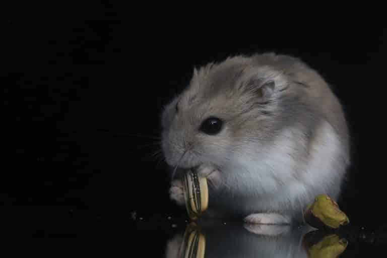 hamster-avec-graine-de-tournesol