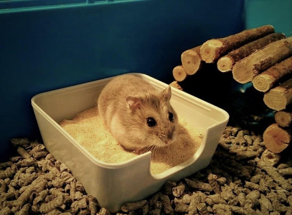 hamster qui se gratte