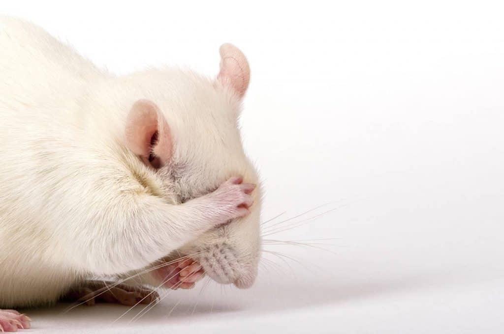 hamster albinos