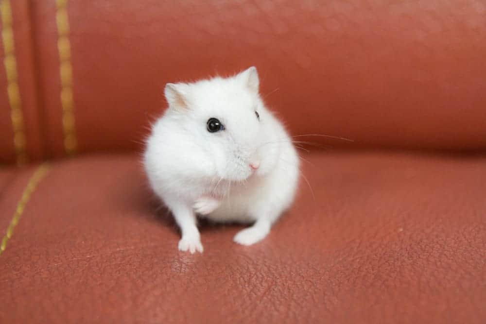 hamster blanc
