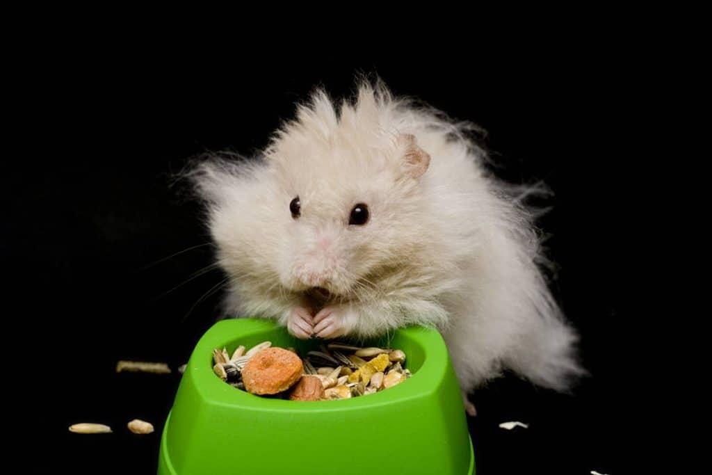 hamster doré angora